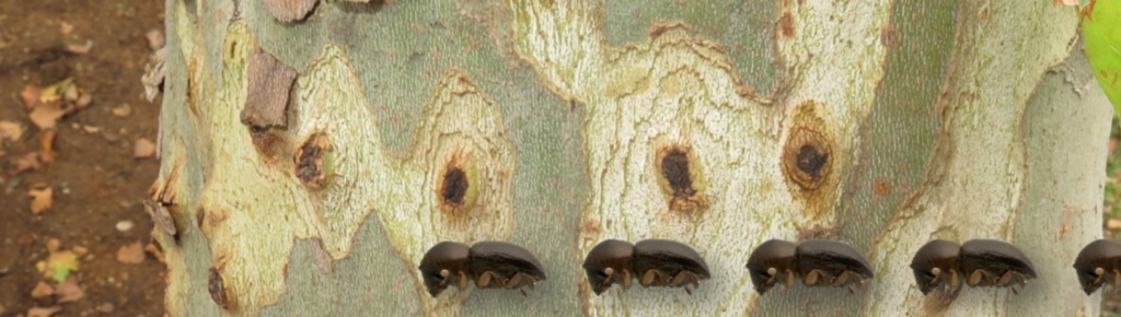 A threat to South Africa's trees